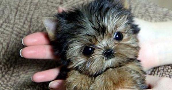 Teacup Yorkie Puppies Males Females Under 4 Lbs Full Grown