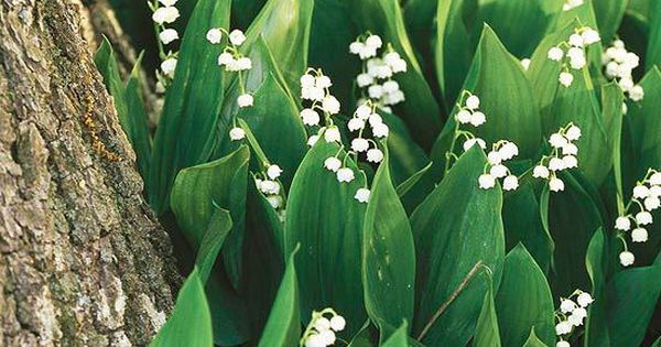 Lily-of-the-Valley Don't let this little beauty fool you -- though it's small,