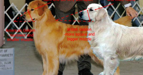Wi English Imported Akc Registered Golden Retrievers Puppies Il