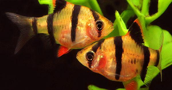 Pin By Casey Latham On Fish Aquarium Fish Tropical Fish Aquarium Tetra Fish