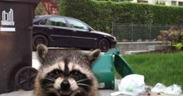 - How to keep raccoons out of garden ...