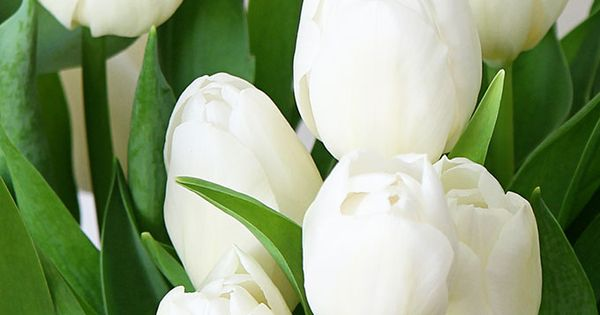 Spring Desktop And iPhone Wallpaper | White tulips ...