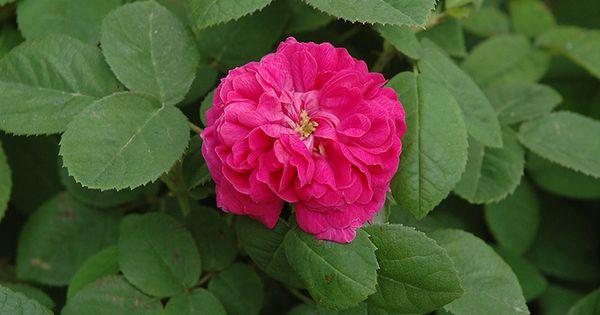 Rose De Rescht Rose Rosa Rose De Rescht In Denver Centennial Littleton Aurora Parker Colorado Co At Tagawa Gardens Rose De Rescht Rose Fuchsia Flowers