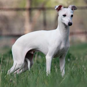 About Time Italian Greyhounds Silver Lining White Italian Greyhound Italian Greyhound Dog Italian Greyhound Grey Hound Dog