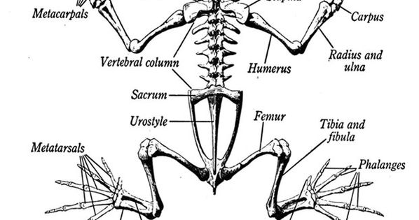 A Diagram Of The Skeleton Of A Frog Looking At How A Frogs Bone Structure Is Made Up And What Bones Co Skeleton Anatomy Animal Skeletons Anatomy Coloring Book