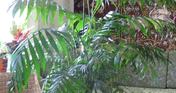 729c1b93189b4f8546f736a0194df66e Palm House Plant Looks Like on palm like weeds, palm like succulents, palm like leaves, palm like fern, palm like flower,