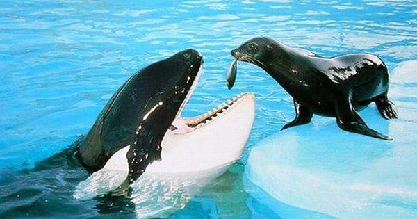 Orca whales eat the animal that is feeding him the dead for The fish that ate the whale