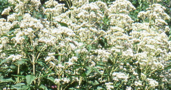 eupatorium rugosum eupatoire eupatoire rugueuse. Black Bedroom Furniture Sets. Home Design Ideas