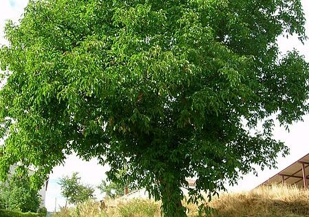 Plantar un nogal en el jard n jard n arbustos y jardiner a for Arbustos en jardines