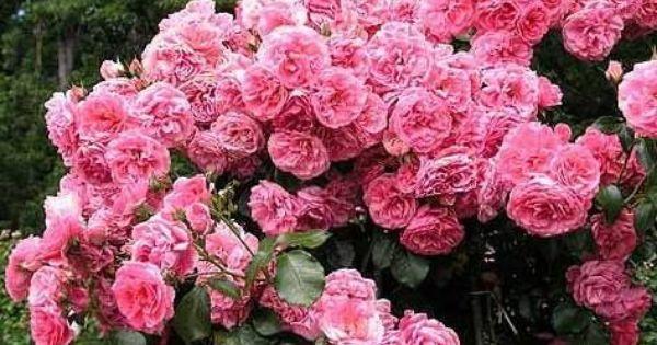 rose rosarium uetersen kortersen bred by reimer. Black Bedroom Furniture Sets. Home Design Ideas