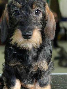 Pin By Nickie Hatfield On Dachshunds Beagles German Shepherds