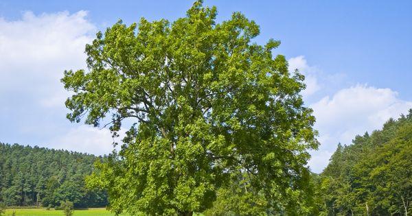 Fresno com n fraxinus excelsior verde pinterest el for Arbol comun