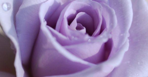 Violet rose flower purple rose