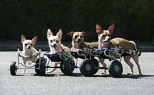 Chihuahua S On Wheels Brave Animals Chihuahua Chihuahua Love