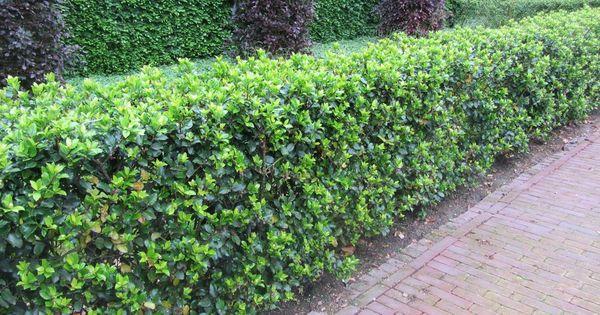 Portugese laurier google zoeken gardening pinterest - Bassin tuin ontwerp ...