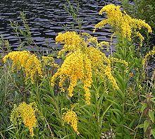 Goldenrod Kentucky State Flower Cool Plants Goldenrod Flower