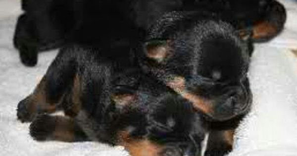 rottie babies rottweiler pinterest. Black Bedroom Furniture Sets. Home Design Ideas