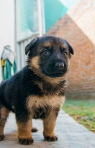 German Shepherd Dog Breed Information Pictures Characteristics