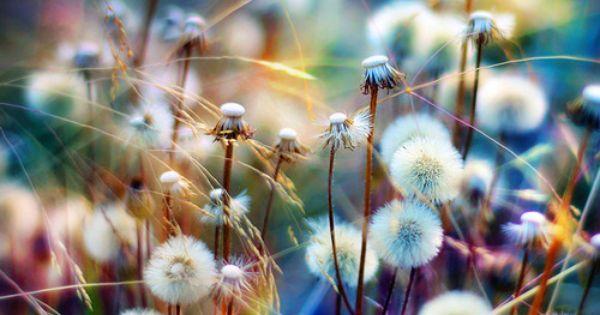 dandy dandelions