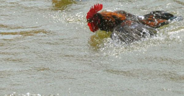 Swimming roosters chickens pinterest for Swimming chicken