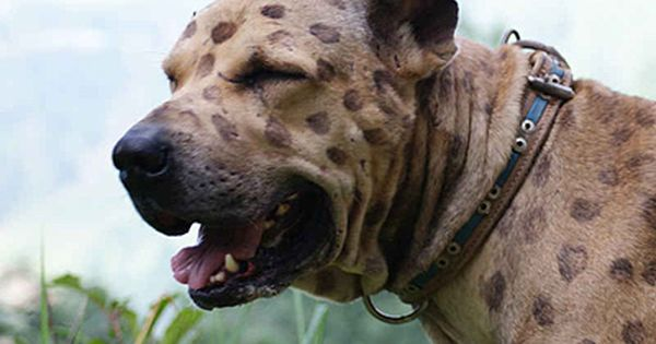 Pakistani Mastiff Bully Kutta Giant Dog Breed Temperament