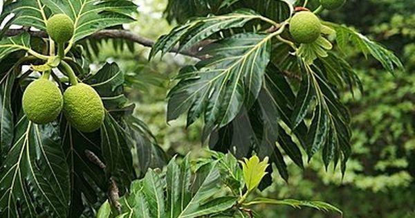 Breadfruit Tree Download From Over 56 Million High Quality Stock