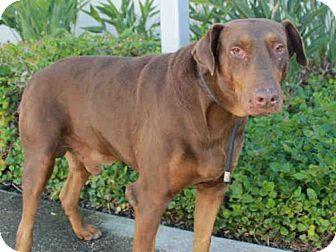 Pin By Gloria Taylor On Urgent Senior Dogs Ox Doberman