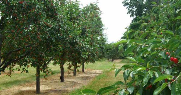 Leelanau Michigan Cherry Trees Michigan Cherries Leelanau Michigan Michigan
