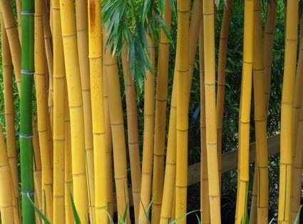 Bamboe hagen bamboekwekerij kimmei valkenswaard - Seto de bambu ...