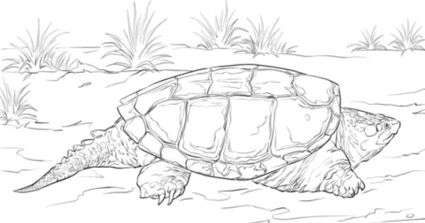 Realistic Common Snapping Turtle Coloring Page Turtle Coloring Pages Turtle Drawing Super Coloring Pages