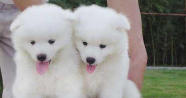 Simoid Dogs Samoyed Baby Samoyed Puppies Pictures Djxbj60717