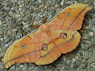 Japanischer Eichenseidenspinner Antherea Yamamai Japanese Oak Silkmoth Theretra Alecto Levant Hawk Moth Orie Schmetterling Schone Schmetterlinge Sudeuropa