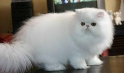 Persian Cat Szukaj W Google Persian Cat Persian Cat White