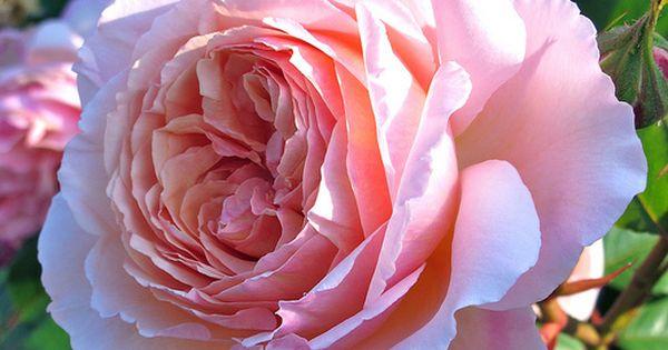 David austin roses coupons discounts