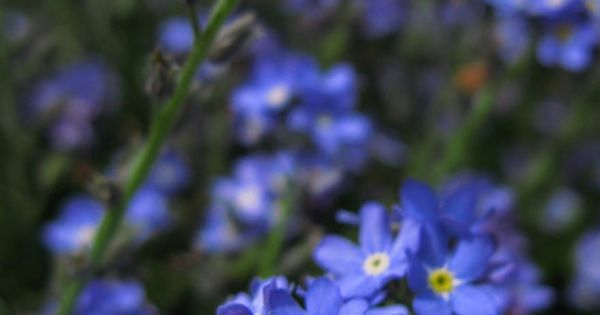 how to grow forget me not flowers from seeds