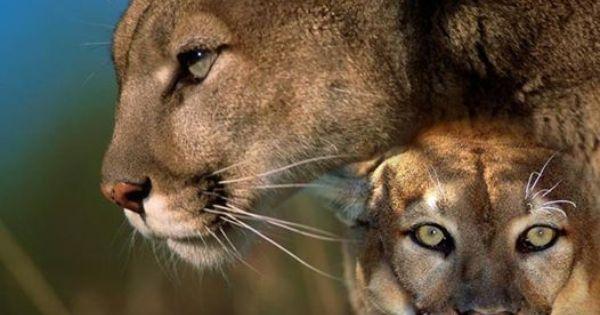 yukon cougar women Mckinley cougar 40 rc ii mckinley cougar 40 backpack review nvids loading trekkingrucksack yukon - duration.