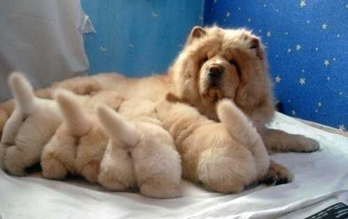 Motherhood, lovely... dog, puppy, dogLover, animal, pet ChowChow