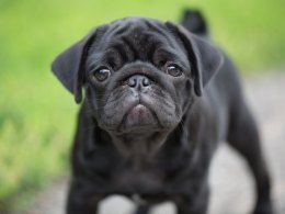 Pug Puppies Pug Puppies For Sale Dog Breeds Pug Puppies