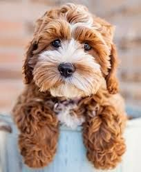 Image Result For Springer Spaniel Poodle Mix Cute Animals Cockapoo Puppies Cavapoo Puppies