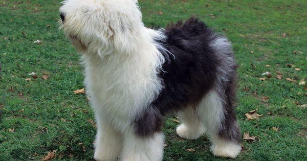 Ra as m dio porte old english sheepdog outros nomes for Porte in english