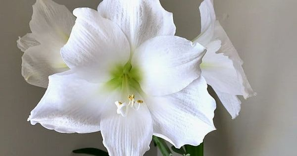 How To Rebloom Your Amaryllis Plants In 2020 Amaryllis Plant Amaryllis Amaryllis Care