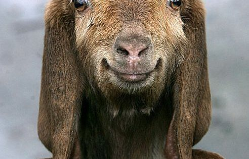 Happy goat, ha! My sister used to have a cowboy hat wearing,