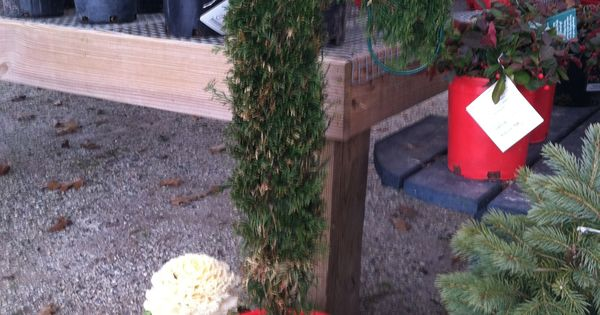 Candy cane christmas gammon s garden center pinterest candy