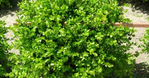 Boxwood Winter Gem Buxus Micriphylla Japon Medium Shrub Compact Evergreen With Small Shiny Light To Medium Green Lea Winter Gem Boxwood Shrubs Winter Shrubs