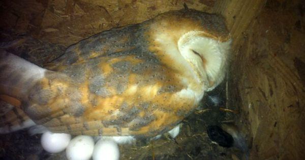 Barn Owl on the nest, via Ruffled Feathers | Birds & nests ... Ruffled Feathers Sanctuary