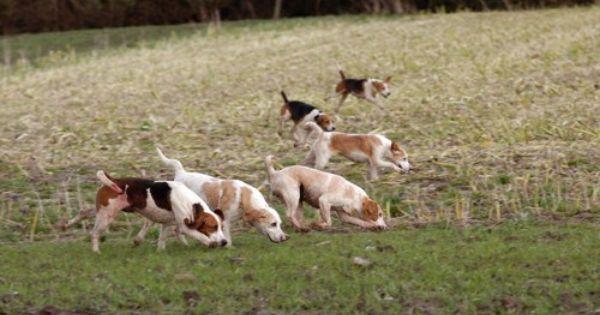 Beagle Dog Info Site For Any Beagle Fan Beagle Hunting Beagle Dog Beagle