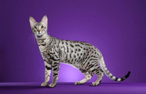 Serengeti Cat Breeds Rare Cat Breeds Rare Cats