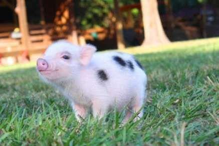 Pin On My Little Oink Oink