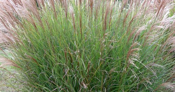 Miscanthus sinensis 39 gracilimus 39 maiden grass i want for Maiden grass landscaping ideas