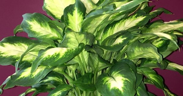 Dumb Cane Houseplant (Dieffenbachia) Care And Growing Tips ...